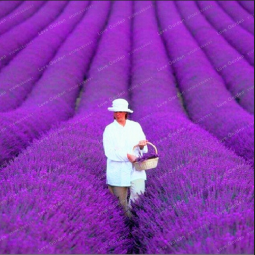 Provence Lavender 100 PCS Seeds Bonsai Fragrant Plants Flowers Home Garden NEW N