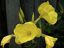 Oenothera biennis EVENING PRIMROSE Classic Flower Seeds!