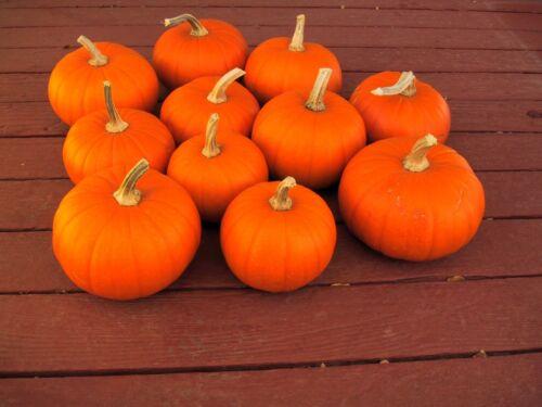 Bulk Pumpkin Seeds SUGAR PIE 50 Organic Seeds Excellent for Baking