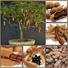 10 FRESH SWEET THAI TAMARIND FRUIT SEEDS # FS-5564 # INDIAN