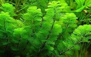 *BUY 2 Get 1 FREE* Green Cabomba Live Fish Tank Plants Aquarium Plants ✅