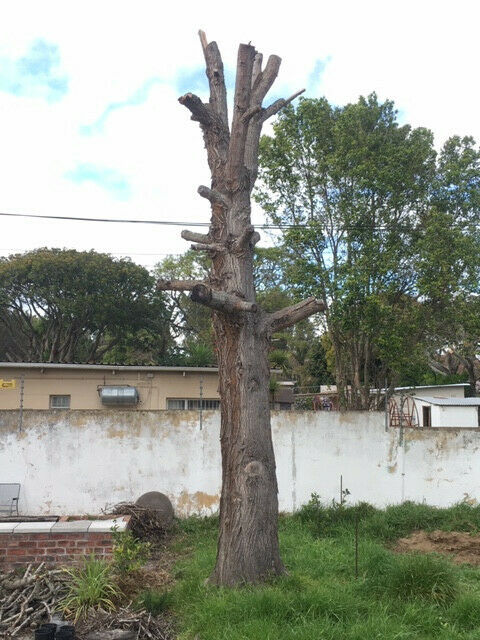 SILKY OAK TREE, about 5.5m tall – interest in timber / wood / carpentry / furniture making / tree