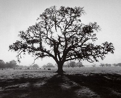 ANSEL ADAMS - Oak Tree, Sunrise PHOTO ART PRINT 16x20 Poster