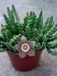 STAPELIA-variegata-cactus-cacti-succulent-2-rooted-stems-w-off-shoots-2-4-034-tall