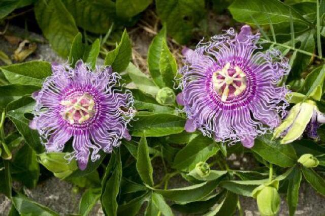 Passion Maypop Purple Flower Plant Passiflora Incarnata 4 Pot