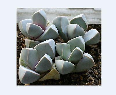 Lapidaria Margaretae SB1798 (10 SEEDS) Rare Succulent Samen Korn Semi  種子 씨앗
