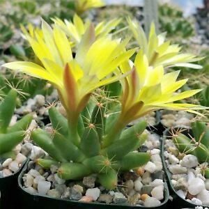 Mammillaria-longimamma-Cactus-Cacti-Succulent-Real-Live-Plant