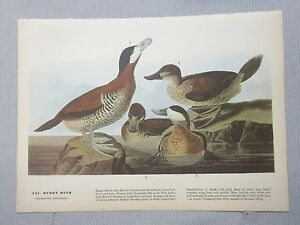 "1942 Vintage AUDUBON BIRDS #344 /""STILT SANDPIPER/"" Color Art Plate Lithograph"