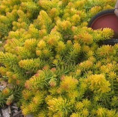 """sedum ANGELINA compact yellow easy drought tolerant 2/"""" pot = 1 Live Potted Plant"""