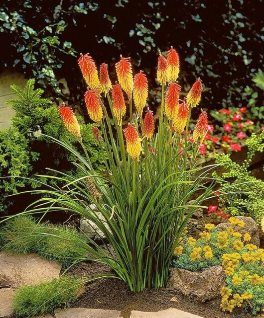 RED HOT POKER (Kniphofia uvaria) 50 seeds