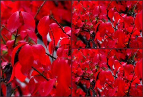 Euonymus alatus 40//60 kräftige ~Prachtvoller Herbtsgruß