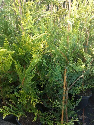 10 X CASTLEWELLAN HEDGING CONIFER GOLD TREES 2.5-3 FOOT PLANTS 2 LT POTS