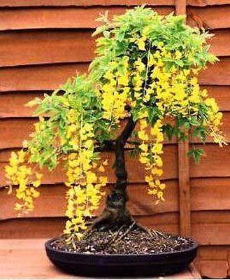 Laburnum Bonsai Tree Seed Kit Ebay