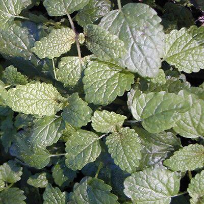 6 Lemon Balm (Melissa Officinalis) Plug Plants * Perennial, Evergreen herb *