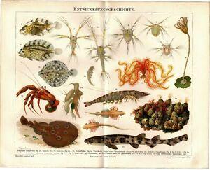 Lithografie-Bild-Entwicklungsgeschichte-Original-um-1895-Lithograph-Hai-Krebs