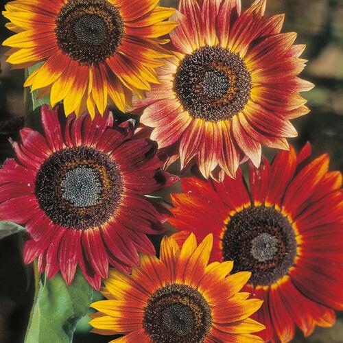 Seeds Sunflower Sonnenblume Paket aus 3 Sorten Saatgut 15+ Samen