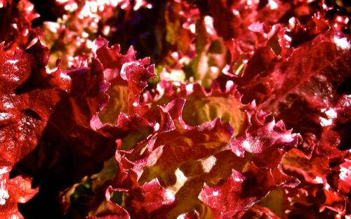 Blattsalat LOLLO ROSSO Pflücksalat 400 Samen