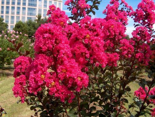 Crêpe Myrtle tree seeds//vivace//Dk 35 Rose