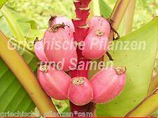 Rosa Zwerg-Banane 10 frische Samen Musa Velutina  frosttolerant Balkon für Kübel