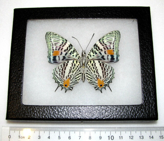 REAL PERUVIAN LEOPARD SPOTTED BOETUS VERSO FRAMED BUTTERFLY INSECT
