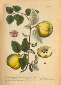 Quinces ELIZABETH BLACKWELL  Vintage Botanical Poster A Curious Herbal