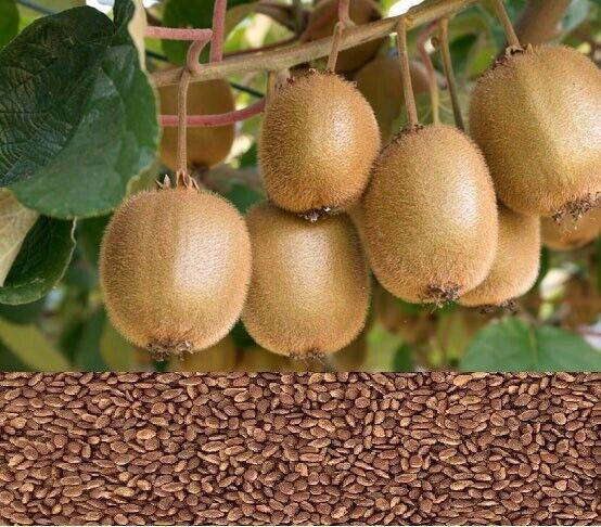 100x Kiwi Seeds - Finest Premium Seeds - Easy Growing Fruit Seeds
