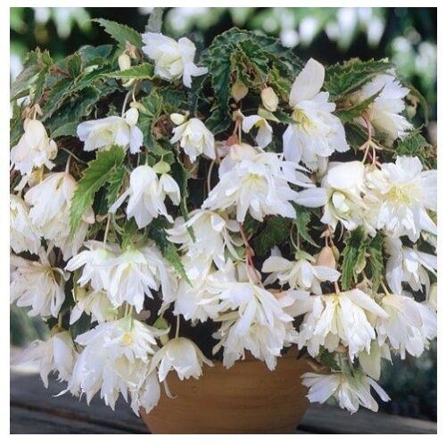White Begonia Shanson Seeds terry F1 10 seeds Бегония Шансон белая S1135