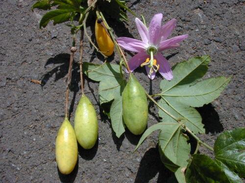 Passiflora Mollissima 5 graines PASSIFLORE BANANE CURUBA G336  SEEDS SAMEN SEMI