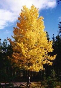 Populus-tremuloides-QUAKING-ASPEN-TREE-Seeds