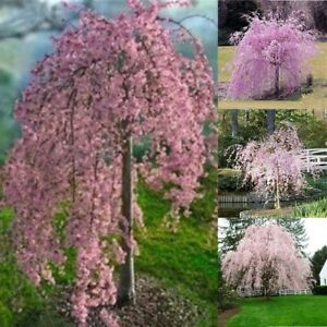 Image Is Loading 20pc Pink Fountain Weeping Cherry Tree Seeds Garden