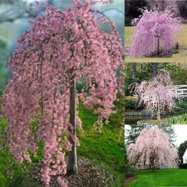 Dwarf Weeping Cherry Tree The Instapaper