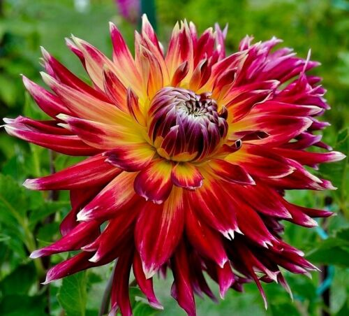 CACTUS DAHLIA Mix Pinnata Tuberous Large Flower Spider 20 Seeds