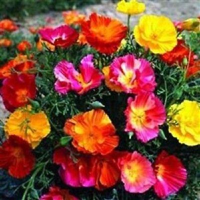 Perennial Flower Seeds Califofnia Mission Bells Mix Poppy Papaver 40