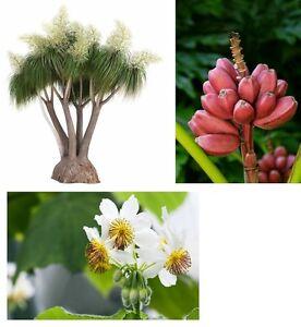 Zimmer Terrasse Balkon Samen Obst exotische Pflanzen R-BANANE Z-LINDE E-FUSS