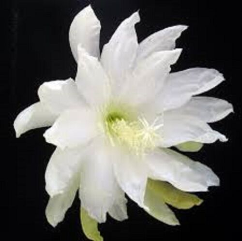 ADMIRAL TOGO Epiphyllum The Flowering Cactus Collection No 121 plant in 80mm pot