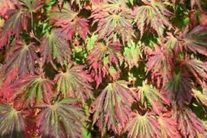 5 X Fernleaf Full Moon Maple Acer Japonicum
