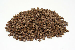 50-Seeds-Hawaiian-Baby-Woodrose-Argyreia-Nervosa