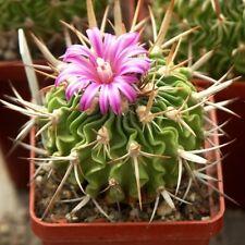 10 semi di Echinofossulocactus anfactuosus ,piante grasse,seeds cactus