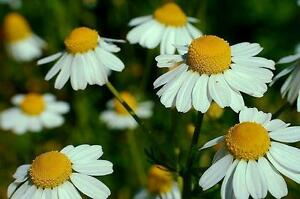 Chamomile-Seeds-German-Chamomile-Heirloom-Herb-Seeds-Best-For-Tea-100ct