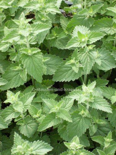 Nepeta cataria Echte Katzenminze Pflanze im 9x9cm-Topf