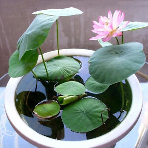 Details About 20pcs Mix Lotus Seed Water Lily Bonsai Balcony Garden Hydroponic Flower Plant