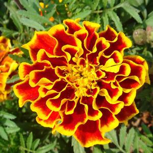 100Pcs-Tagetes-Patula-Seeds-French-Marigold-Mixed-Flower-Garden-Balcony-Cheap