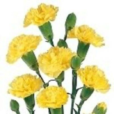 50 YELLOW CARNATION Caryophyllus Grenadin Flower Seeds + Gift & Comb S/H