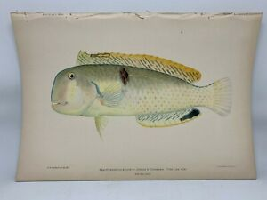 Antique-Lithographic-Print-Reef-Fishes-Hawaiian-Islands-Bien-1903-Plate-50