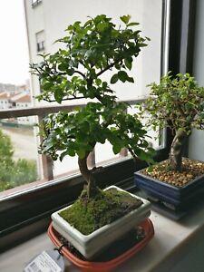 Sageretia Theezans Bird Plum Bonsai Tree Bonsai Tree
