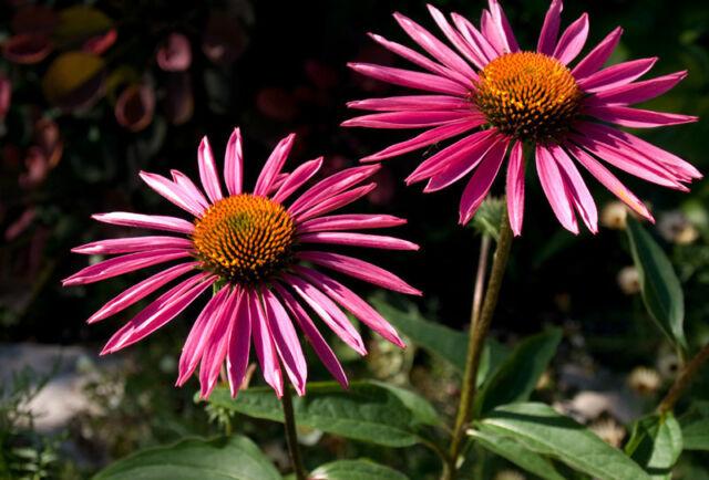 Echinacea Purpurea Seeds -PICA BELLA - Monarch Butterflies- MEDICINAL - 15 Seeds