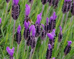LAVENDER-039-French-039-50-seeds-herb-garden