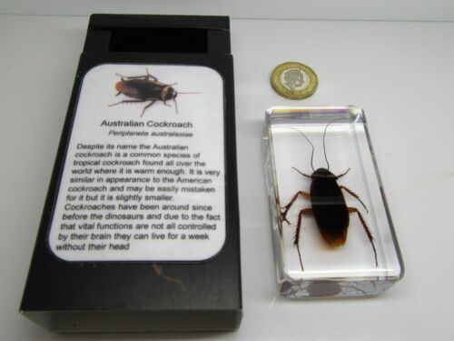 Real insects range Australian Cockroach with information card on gift box