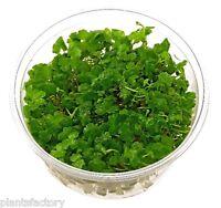 Hydrocotyle Sibthorpioides Tissue Culture Dwarf Pennywort Live Aquarium Plants