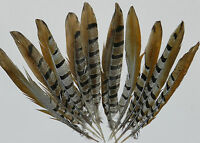 10 Reeves Pheasant Tail Feathers 8 To 10 Inches For Fly Tying